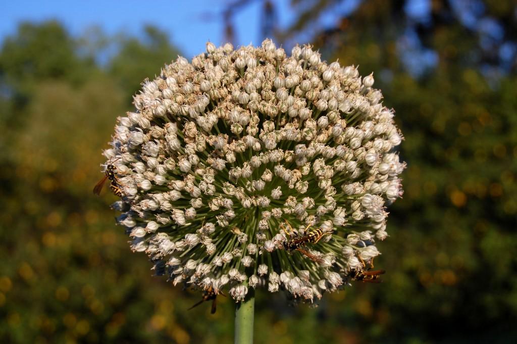 Onion_flower