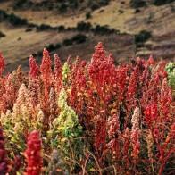 Quinoa - pianta - copertina