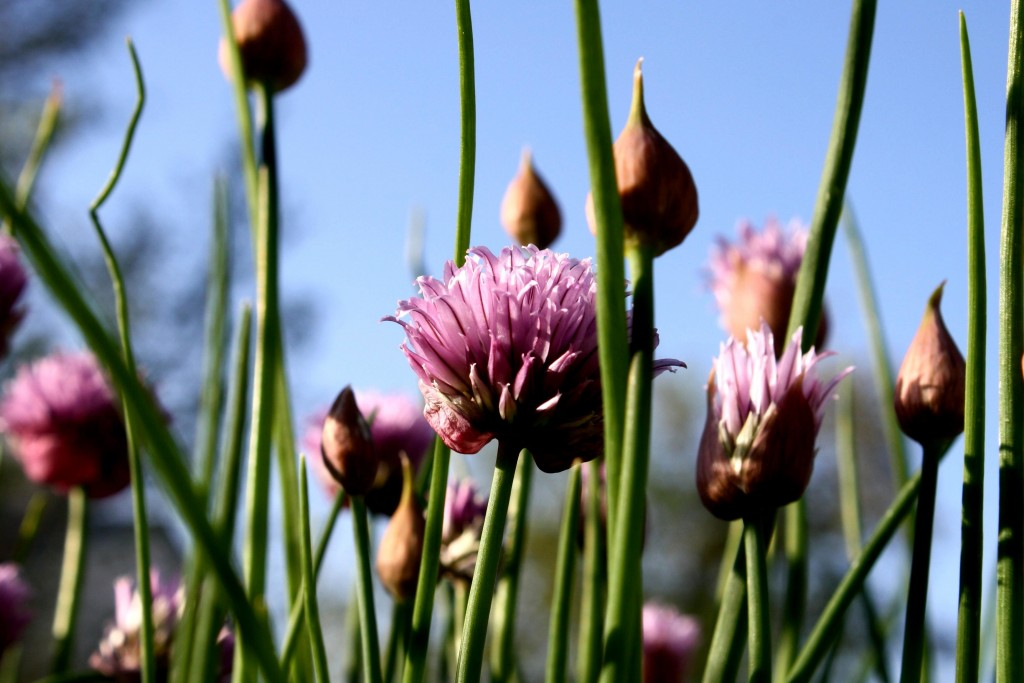 flowering, chives