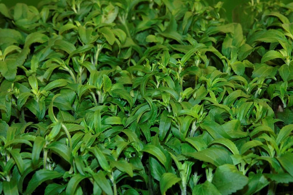 Stevia - caratteristiche