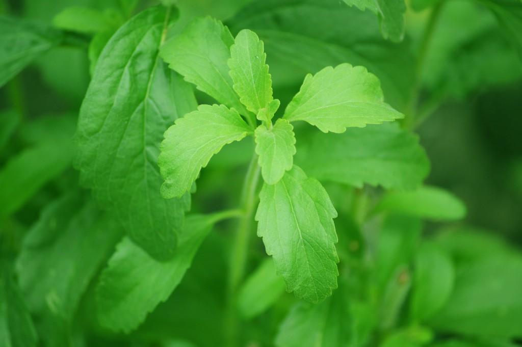 Stevia - caratteristiche coltivazione